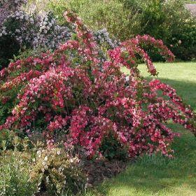 GD362306.02--P Pflanzen - Baum & Strauch - Laubgehölze - Weigelie Carneval®