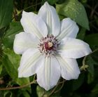 C8 Clematis 'Miss Bateman' clematis (group 2) Position: full sun or partial shade Soil: fertile, well-drained soil Rate of growth: fast-growing Flowering period: May to June and August to September Flower colour: white Hardiness: fully hardy H: 2.5 m S: 1 m Elegant, white, early summer flowers, initially striped green, with contrasting chocolate-red centres and mid-green leaves.  Coping well in full sun or partial shade, it produces a second flush of satiny flowers from August to September.