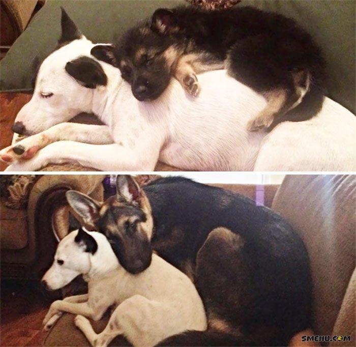 Фото собак до и после того, как они выросли, а привычки остались — Smehu.com