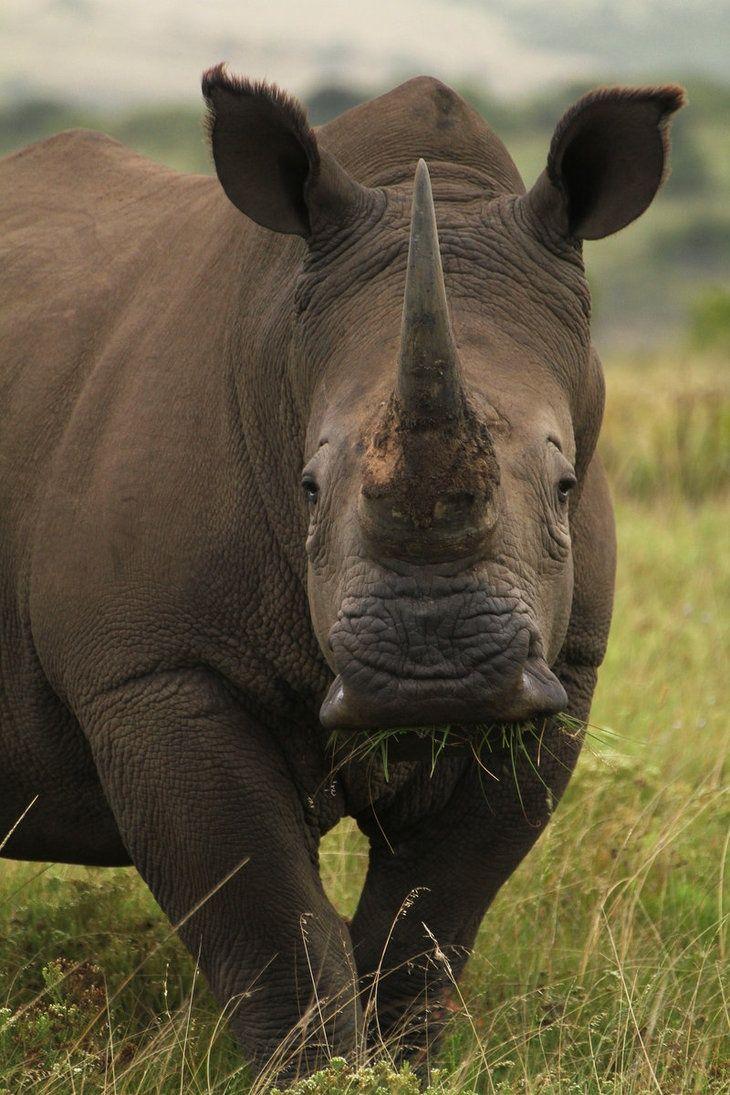 Africa | White Rhino.  South Africa | ©heatherae, via DeviantArt