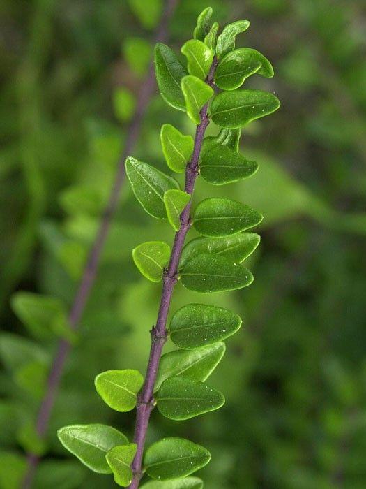Lonicera nitida 'Maigrün' - Böschungsmyrthe, Heckenmyrhte, Heckenkirsche Ein schöner grüner Teppich, der sich immer mehr seinen Weg in unsere heimischen Gärten bahnt, ist die immergrüne Böschungsmyrthe. Sie ist vielseitig einsetzbar...