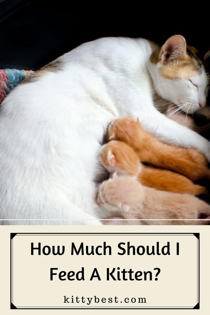 How Much Should I Feed A Kitten In 2020 Feeding Kittens Best Cat Food Kitten