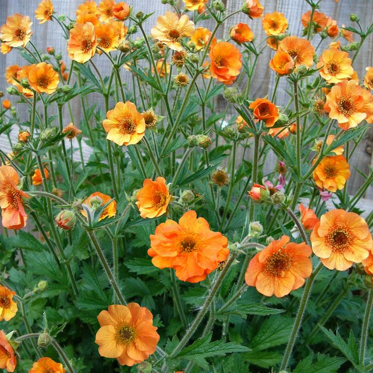 Geum Totally Tangerine Large Plant Perennial Biennial Plants Thompson