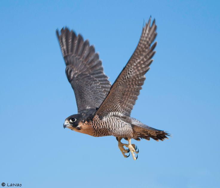 """Halcón peregrino: Su nombre significa """"Halcón viajero"""" y es considerada el ave y a su vez el animal más rápido del mundo. Normalmente vuela a 65 km/h, pero en picada alcanza los 300 km/h."""