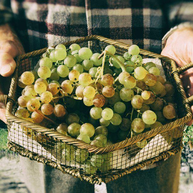 gavi972Pronti per degustare il #Gavi #docg 2015? #consorziotuteladelgavi #vendemmia15 #vendemmia #harvest #wine #grapes #cortese #grandebiancopiemontese #countryside #territorio #terra #sostenibilitá #innovazione #tradizione #winelove #winecountry #wineland #winepassion ph. Maurizio Ravera