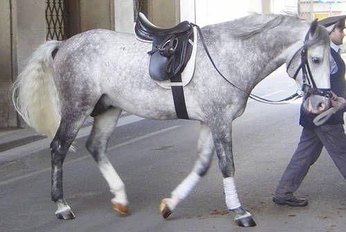 292 Best Images About Horses Lipizzaner On Pinterest