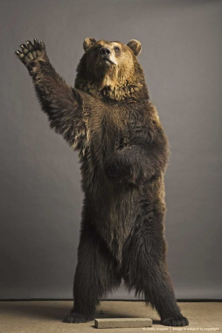 122 best images about Bear on Pinterest | Canada, Da bears ...