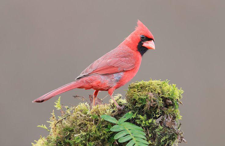 Красный кардинал — птица средних размеров. Длина — 20—23 см. Размах крыльев достигает 25—31 см. Взрослый кардинал весит около 45 г.  Самец немного крупнее самки. Окраска самца ярко-малиновая, с чёрной «маской» на лице.  Песня самца - набор очень красивых звонких трелей, отдалённо напоминающих песню соловья, за что его часто называют виргинским соловьём. Самки тоже поют, но их песня тише и не такая разнообразная.  При испуге птицы издают резкий чирикающий крик, между собой переговариваются…