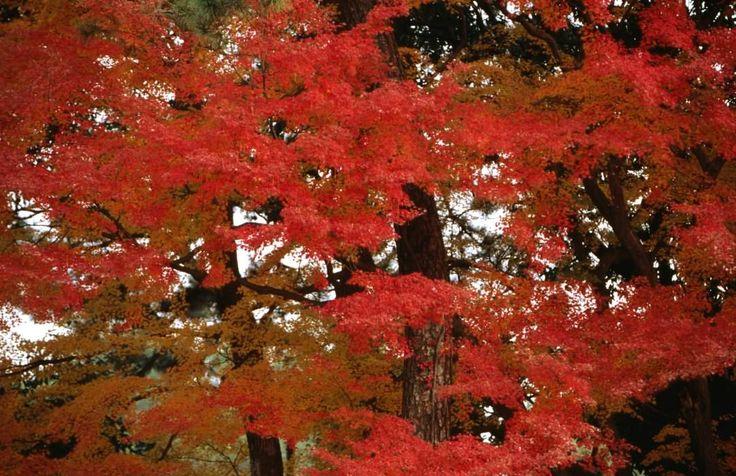 Autumn trees, Kyoto Imperial Palace, Kyoto Gosho.
