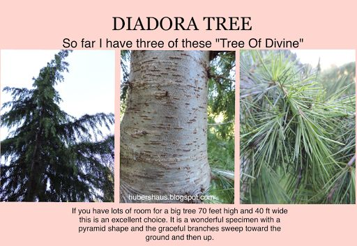 """Darlene Huber DIADORA Tree, """"Tree of Divine"""" I have a collection of trees on the property but this is one of my very favourite although it needs lots of space."""