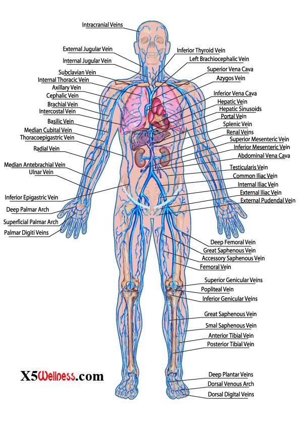 The Cardiovascular System Major Body Systems Human Anatomy Chart