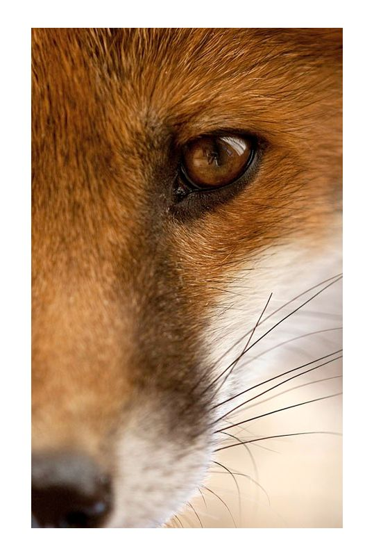 Breathtaking close-up of a Red Fox's finely sculpted face and beautiful vertical pupil!  Photo: Born to be wild by Julian Cox