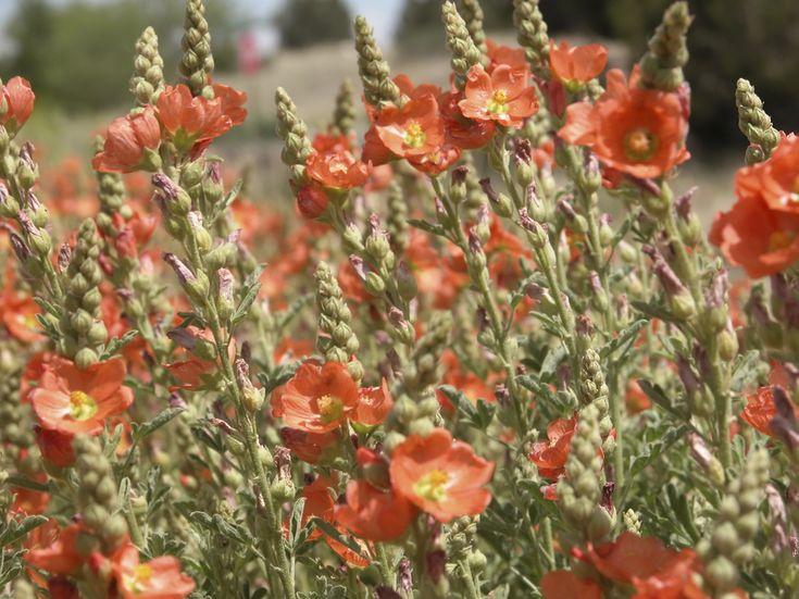Desert Mallow - Monrovia - Desert Mallow