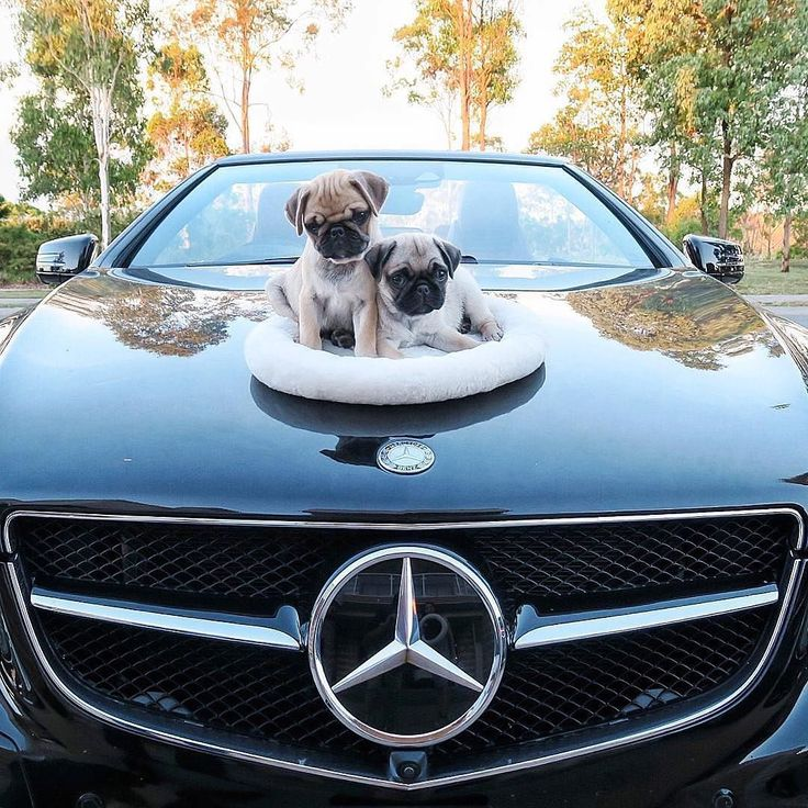 What would you rather have a free Pug puppy  or a free Mercedes??  Tag a friend who loves pugs too!   Original  by @piggypeanutpug