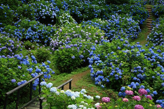 舞鶴自然文化園の紫陽花、本当にきれいでした。 今回がラストです。  1. 2.      3.      4.   ...