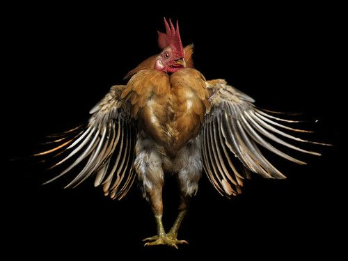 Chicken. Beautiful animal photography to inspire you to always just be yourself no matter what. Helpful motivation to support tips, activities, plans and ideas on how to be yourself, including for women. Works well with motivational quotes and inspirational quotes. For more great inspiration follow us at 1StrongWoman.