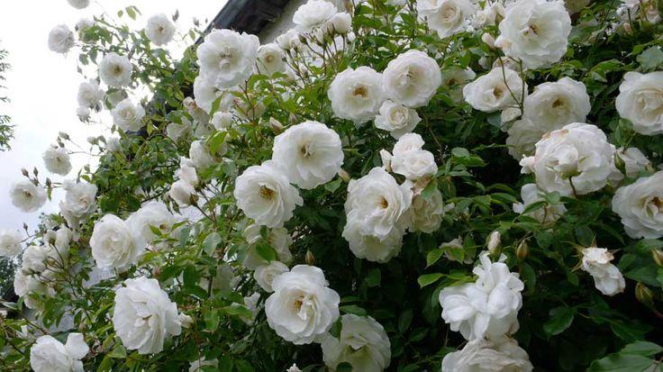 (klim)roos 'Schneewittchen' --  syn.Iceberg - Kordes (1958) - ADR 1960-2014 - AGM 1993 - Hall of Fame Roses 1983. Stralend wit. Rijkbloeiend. Licht geurend. Bloeit tot de vorst. Regenbestendig en nauwelijks vatbaar voor ziektes. Bestaat als stamroos, als heester (150cm) en als klimroos (300cm)