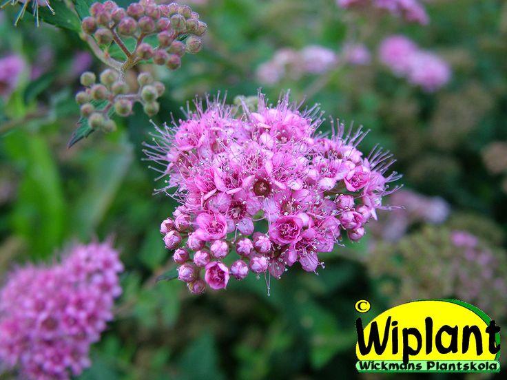 Spiraea jap. 'Newport Dwarf', dvärgpraktspirea. Dvärgform, större blomklasar än Nana. Rekommenderas istället för Nana. 0,3 m hög.