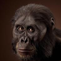 Australopithecus afarensis      Image of male reconstruction based on AL444-2 by John Gurche. 3/4 view