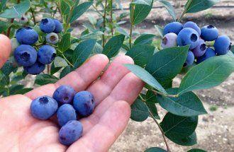 Голубика высокорослая | Голубика высокорослая, или садовая, – растение красивое и полезное. Посадив по периметру сада кустики одного из этих 10 сортов, вы получите очаровательную живую изгородь, которая каждое лето будет радовать вас богатым урожаем вкусных и очень полезных ягод.