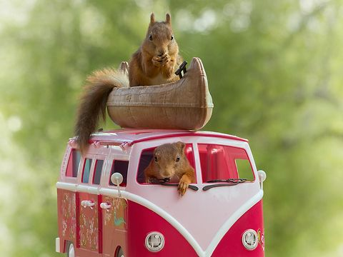 red wild squirrels with a mini van