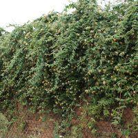 Pnącza ogrodowe, balkonowe, owocujące: Wiciokrzewy