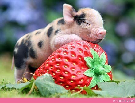 Just+a+Micro-piglet+Hugging+a+Strawberry