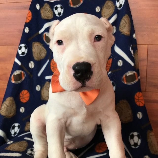 Dogo Argentino puppy for sale in QUARRYVILLE, PA. ADN-62289 on PuppyFinder.com Gender: Male. Age: 10 Weeks Old