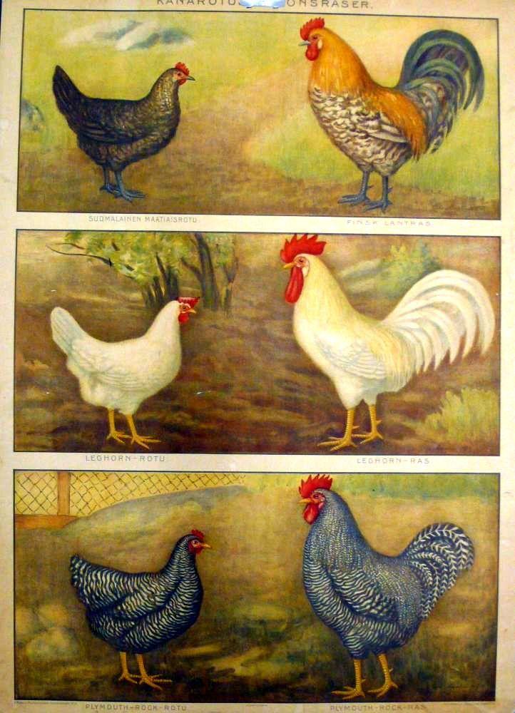 Opetustaulu, kanarotuja - Board of Education, chicken breeds - Finland
