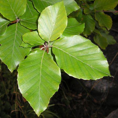 Buk lesní (Fagus sylvatica) Čeleď: Bukovité (Fagaceae)