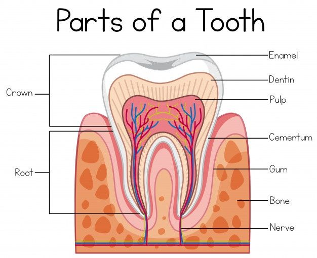 Parts Of A Human Tooth In 2020 Teeth Anatomy Teeth Human Teeth