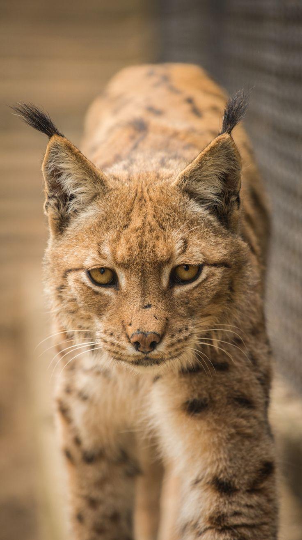 Lynx by Luboš Dufek on 500px