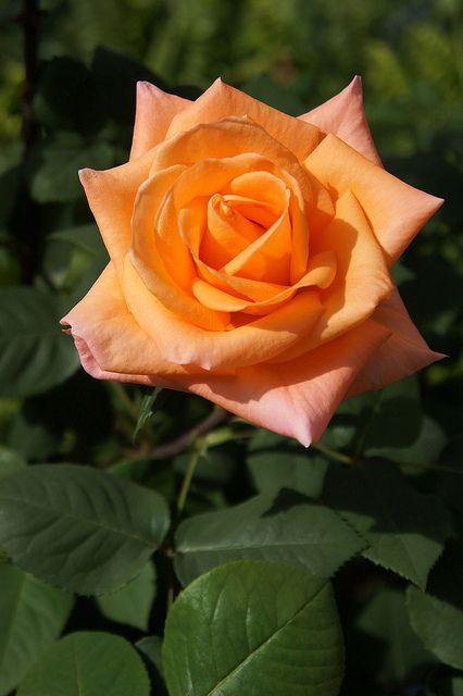 'Tokonatsu', Hybrid Tea rose | @ T. Kiya