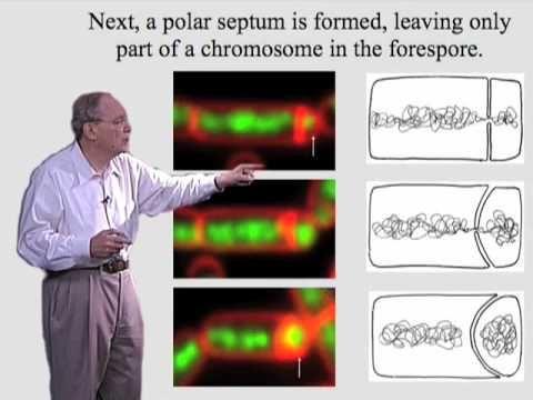 Richard Losick (Harvard) Part 1: Spore Formation in Bacillus Subtilis