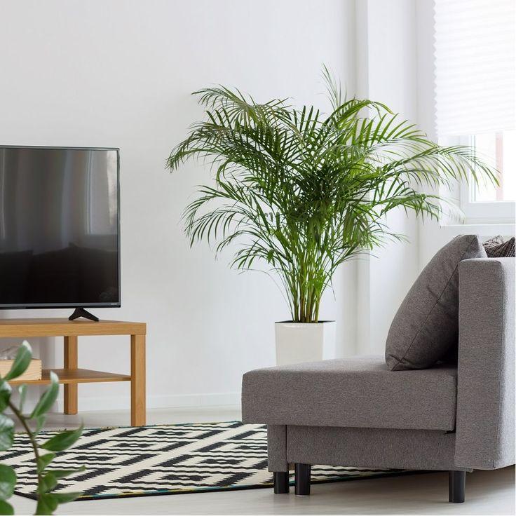 Palmier Areca lutescens (Dypsis) dans le salon