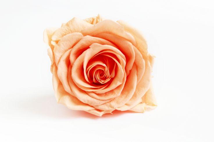 Róża stabilizowana – delikatna i trwała jednocześnie. Dzięki procesowi stabilizacji kwiat zachowuje świeżość przez co najmniej 730 dni, nie tracąc koloru ani kształtu.  Długość róży: 55 cm  Wielkość kwiatu: 4,5 – 5,5 cm  Róża zapakowana w przezroczyste pudełko.  Prezentowane kolory mogą nieznacznie różnić się od rzeczywistych.