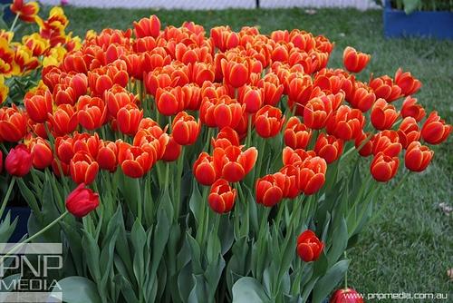 Tulips, Melbourne International Flower Show!  SO LOVE TULIPS!  So Love Australia!