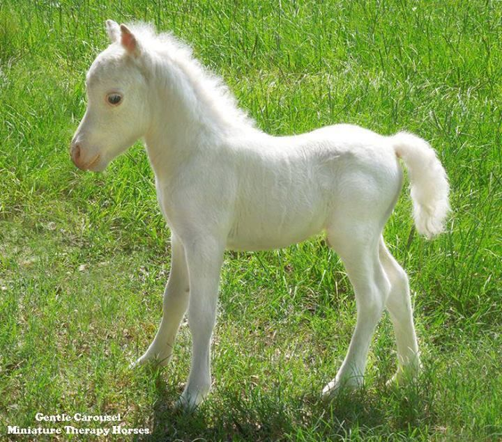 Born on the same day and almost the same time as the new prince in England, this solid white colt is only 14 inches tall. Both parents are LWO neg. Gentle Carousel Miniature Therapy Horses