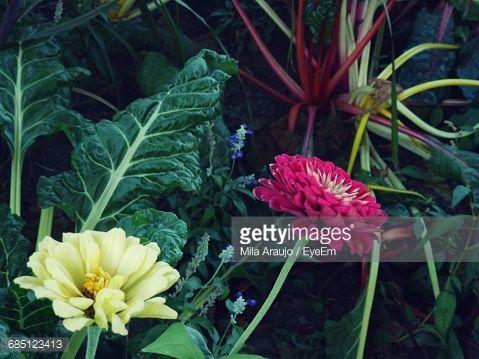 Zinnias in Organic Garden with Rainbow colored Bright Lights Swiss Chard - Gardening Photography