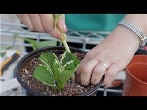 Hydrangea Propagation Grow Hydrangea From Cutting