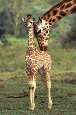 20 Fun & Interesting Facts about Giraffes