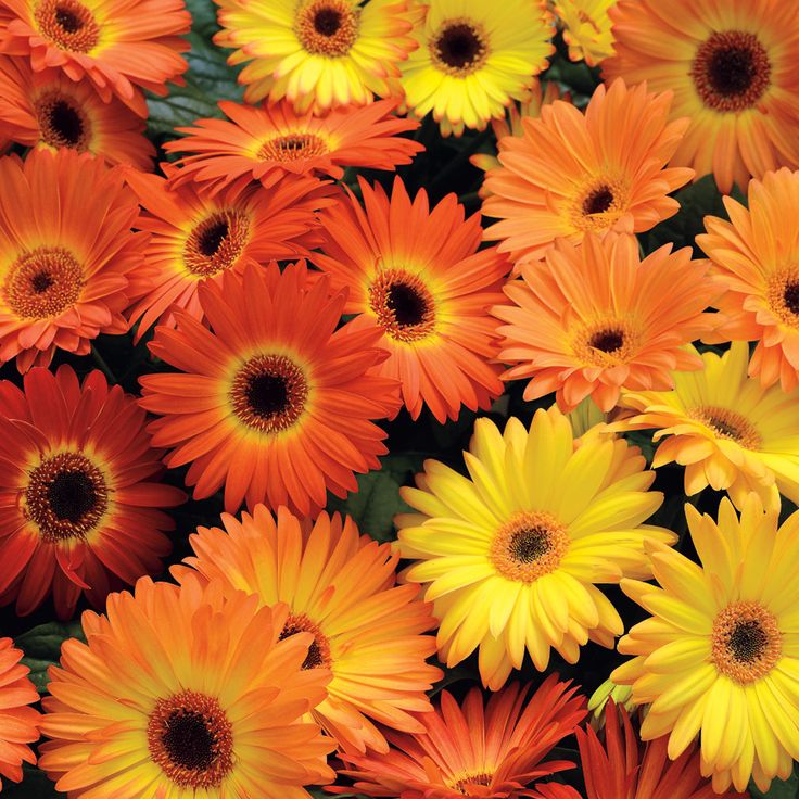 Revolution Yellow-Orange Gerbera Daisy Seeds from Park Seed