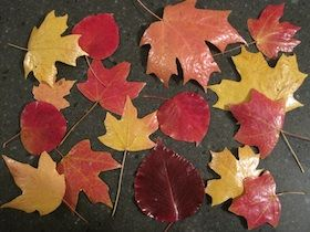How to preserve fall leaves using wax paper and mod podge by craftlinky.com