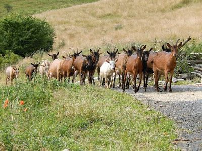 20 Guidelines for Successful Goat Business Opportunities http://ift.tt/2j9XgBJ Livestock Business Opportunities