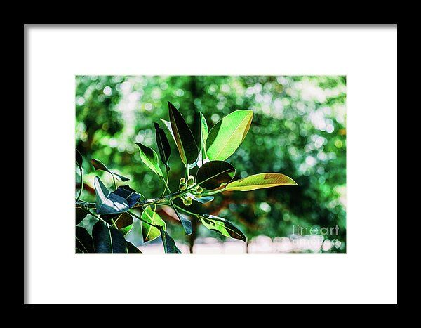 Green Ficus Platypoda Tree Leaves Framed Print