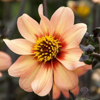 Dahlia HS First Love – Bulbs | Spring Hill Nurseries