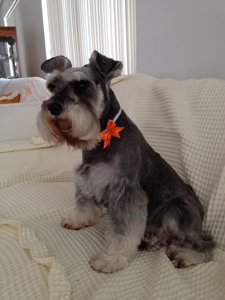 17 Best Images About Schnauzers In Clothes Costumes On