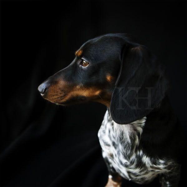 25  best ideas about piebald dachshund on pinterest