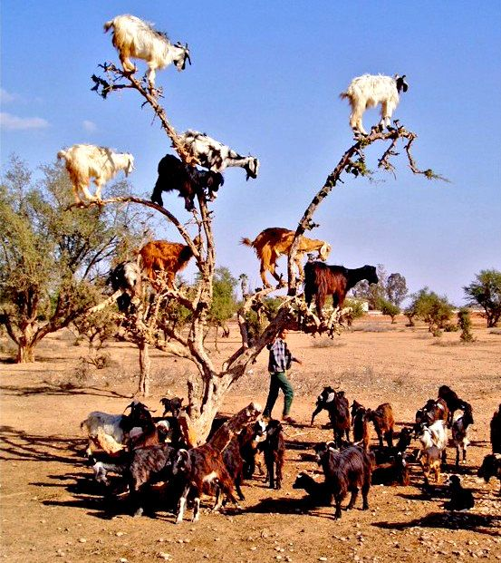 I put this picture in dream places because only in my dreams did I ever think I would ever see goats in a tree! Apparently in Morocco they hop from limb to limb searching for food