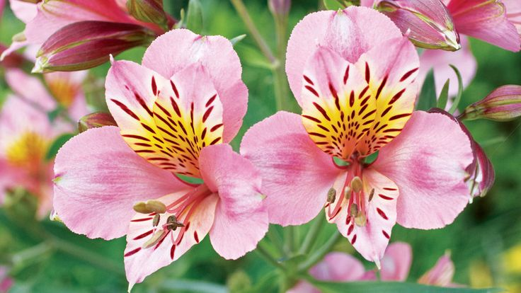 15 Favorite Perennial Flowers | These unfussy, long-lived plants pump out beautiful foliage and flowers year after year. Plant in fall or spring when cooler temperatures help them get a healthy start